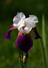 2213 - Iris Flower