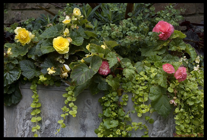 Rose Begonias At Ashland Estate