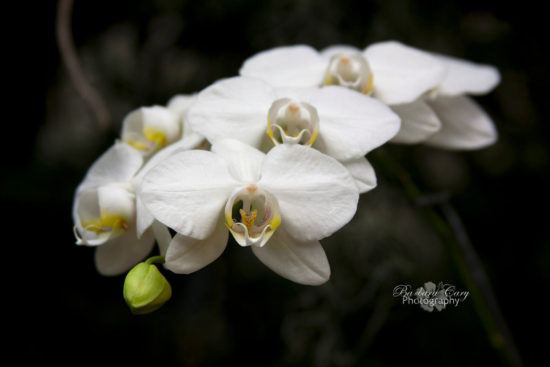 white orchid_MOBOT orchids 014