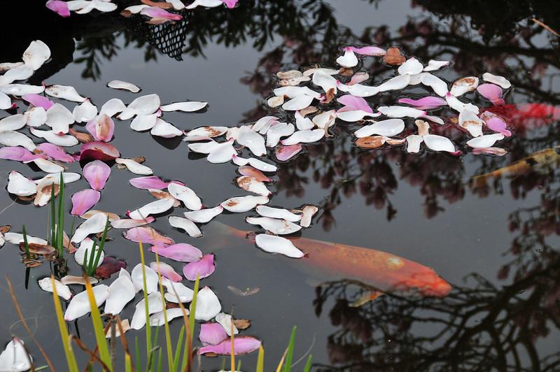Magnolia petals and carp fish.