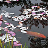 Magnolia petals and carp fish.
