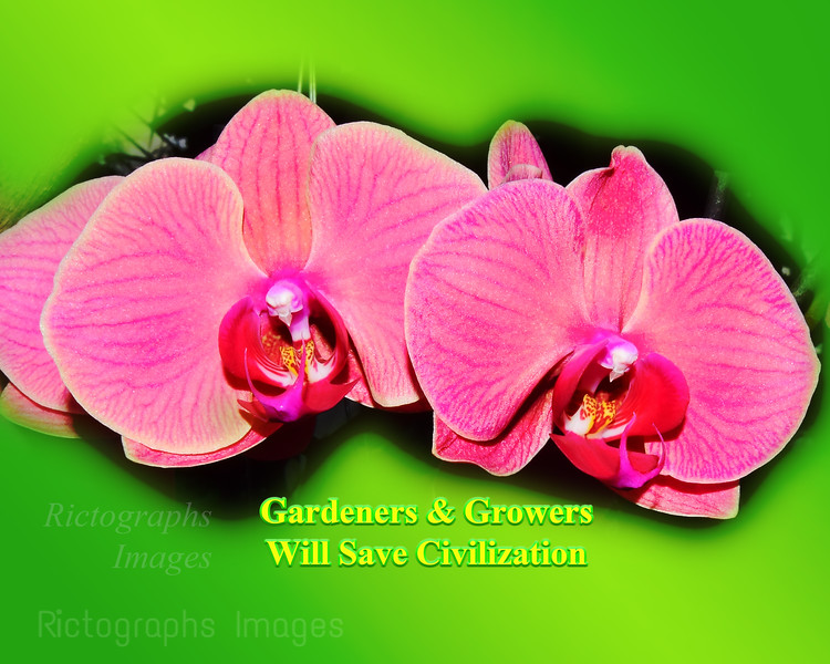 Pink Orchids, 2021
