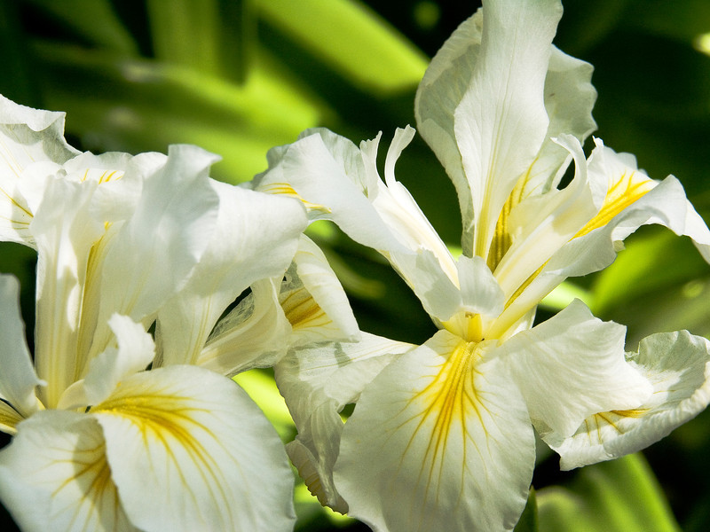 Agnes James Pacific Coast Iris