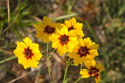 Texas Wildflowers - 2