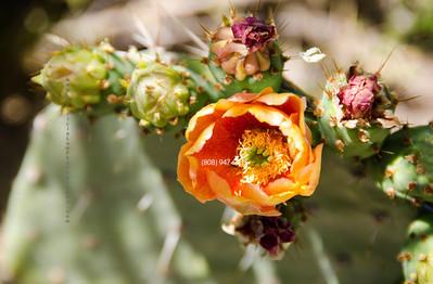 Orange Cactus flower 5677