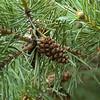 Perfect Pine Cone