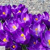 Purple Crocus - 47