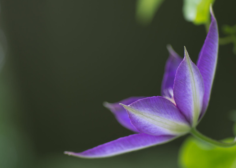 Clematis profile