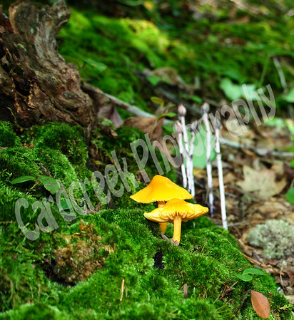Golden Wax Cap, Hygrocybe chlorophana. Indian Pipe in the background.