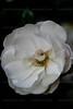 CRay-Flowers-9926