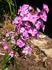 purple liatris - my garden