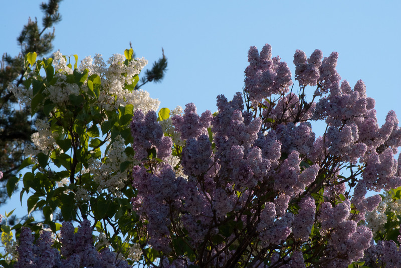 White And Blue Lilac`s
