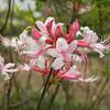 Native Azalea- Rhododendron austrinum; Savannah Botanical Garden