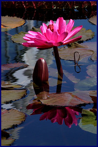 F-V-0232-10 Lily Pad Perfection