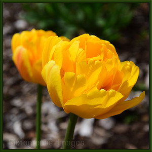 Garden Peony, Tulips,