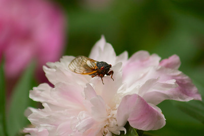 Another cicada and peony