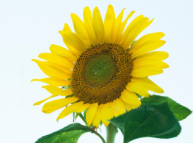 Sunflower and leaves 2475