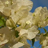 White Bougainvillea Close Up