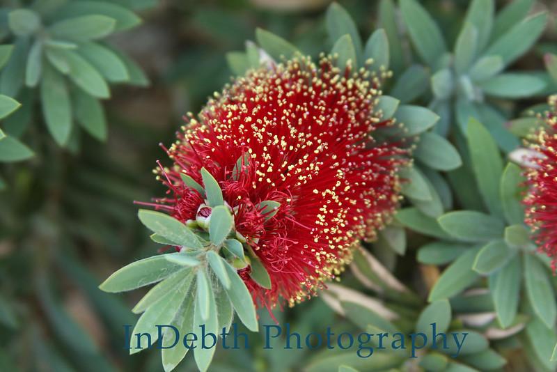 1906 - Bottle Brush Flower