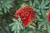 1906 - Bottle Brush Flower
