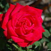 Christian Dior Rose