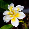 Frangipani - Bali Whirl