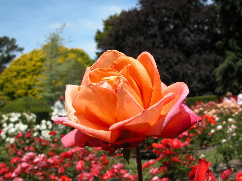 Rosa 'Royal Dane'<br /> Christchuch Botanic Garden