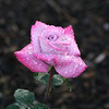 The perfect pink rose after the storm.