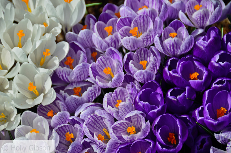 Purple and white crocuses - 140