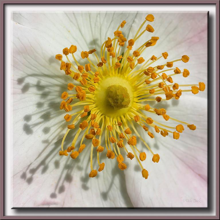 Im Zentrum der Strohblume