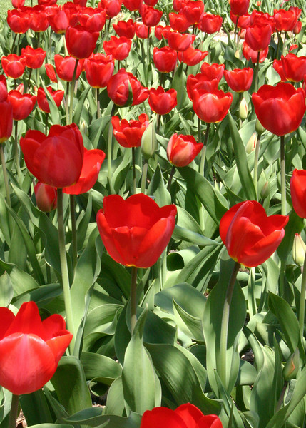 1576 - Tulips