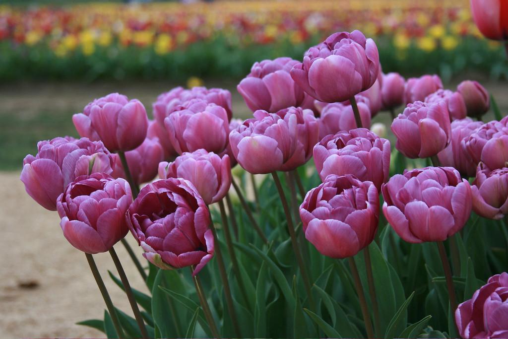 Purple Tulips Big