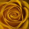"<font color=""#e9efb7"">Yellow Rose"