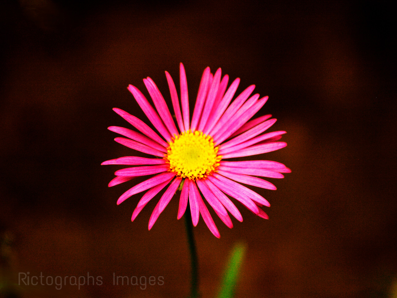 Aster Beauty, Rictographs Images