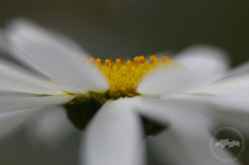 If you look at the XXL size/option of this daisy you will see a very tiny yellow bug just left of center of the middle/yellow part of the flower.
