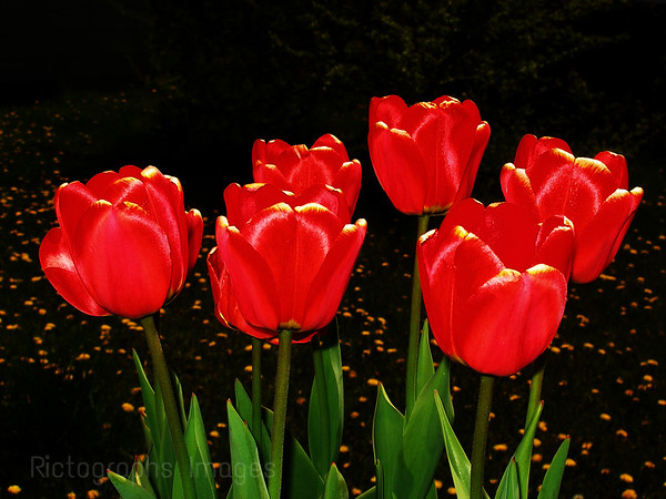 Red Spring Tulips, Rictographs Images