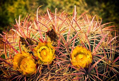 yellow cactus flowers3685