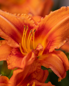 Wash-house lily