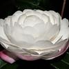 Camellia sasanqua 'Early Pearly'<br /> Royal Botanic Gardens, Sydney, Australia.