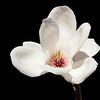 Magnolia flower<br /> Sydney, Australia. Family Magnoliaceae
