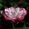 Camellia sasanqua 'Paradise Blush'<br /> Sydney, Australia.