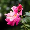 Tatty rose