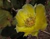 Wild Cactus Flower - Gateway National Park, Sandy Hook, NJ