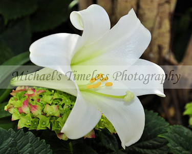 Easter Lily - 8 x 10