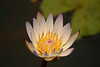 4568 - Water Flower