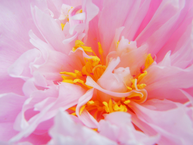 Pink peony Rose centers 042