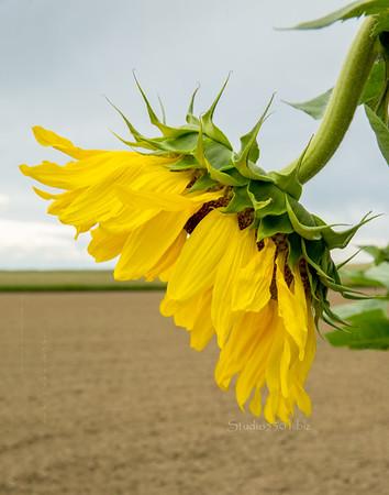 Sunflower 8199 best