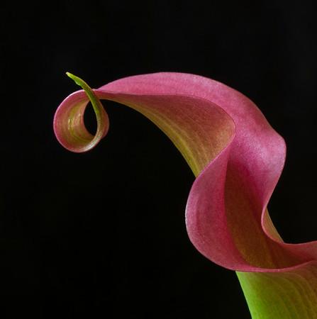 Dark Pink Calla Lily