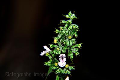 Catnip Flower Bud
