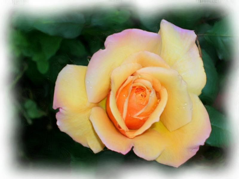 Yellow rose DSCN2898_Painting